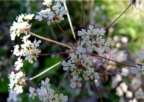 crowders_anthriscus_sylvestris_ravenswing_or_queen_anns_lace_perennial