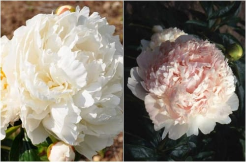 Paeonia 'Bowl of Cream' and Paeonia 'Mr. Ed'