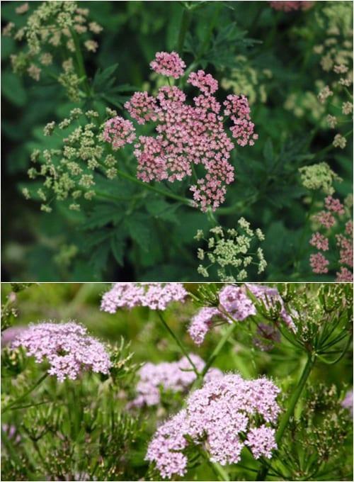 Pimpinella majorrosea and Chaerophyllum hirsutum 'Roseum'