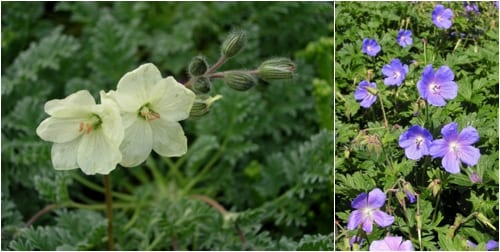 Erodium chrysanthemum and Geranium himalayense 'Gravetye'