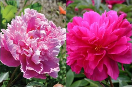 Claire_Austin_peony_alex_fleming_&_peony_adolphe_rousseau