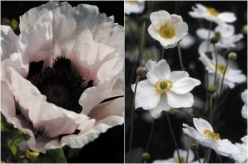 Claire_Austin_papaver_perrys_white_&_anemone_honorine_joubert