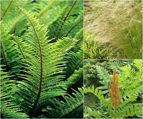 Polystichum setiferum Plumosodivisilobum, Stipa tenuissima & Osmunda regalis