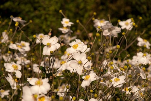 Anemone-Honorine-Jobert-in-White-Garden-Lisa-Cox-Garden-Designs