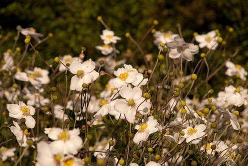 Anemone-Honorine-Jobert-in-White-Garden-Lisa-Cox-Garden-Designs
