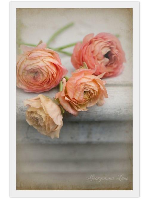 Georgianna_Lane_Ranunculus