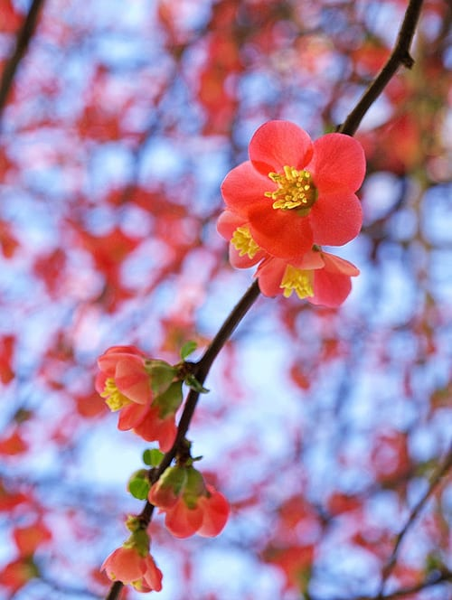 Japanese-Quince-Flickr