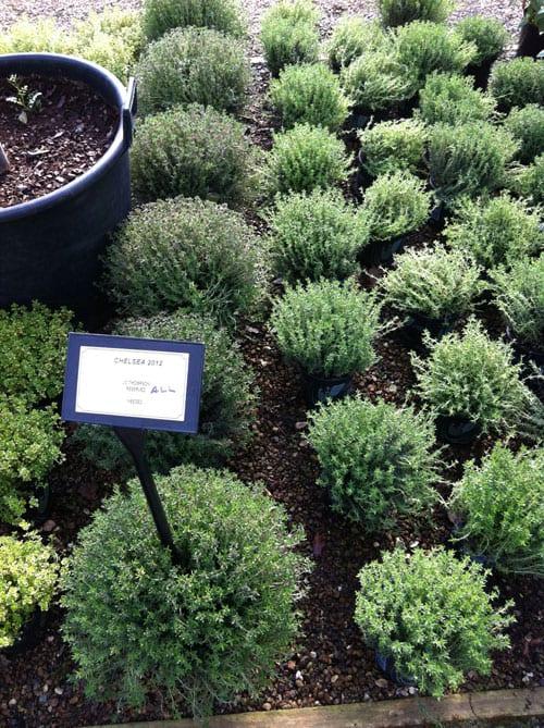 Jo-Thompson-Chelsea-2012-Plants