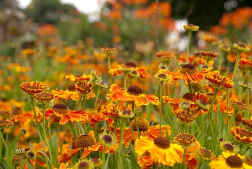 Orange-helenium-Lisa-Cox-Garden-Designs
