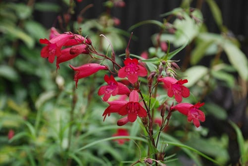 Penstemon-Garnet-Lisa-Cox-Garden-Designs