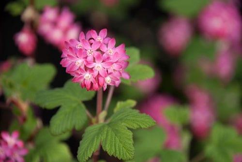 Ribes-sanguinium-Flowering-Currant