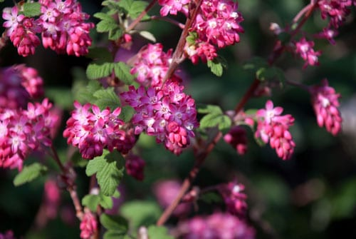 Garden Flowers : Ribes sanguineum, the flowering currant