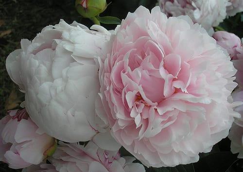 Pink Peonies via Flickr