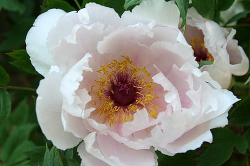 White Tree Peonies via Flickr
