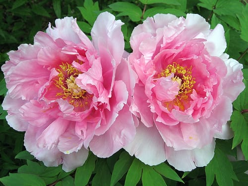 Pink Tree Peonies via Flickr