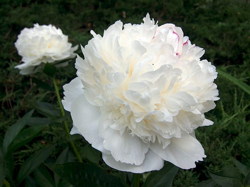 White Peonies via Flickr