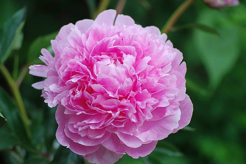 Pink Peonies via Flickr