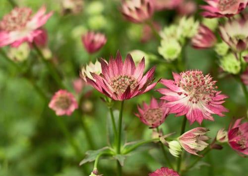 Astrantia-RHS-Chelsea-Flower-Show-Flowerona