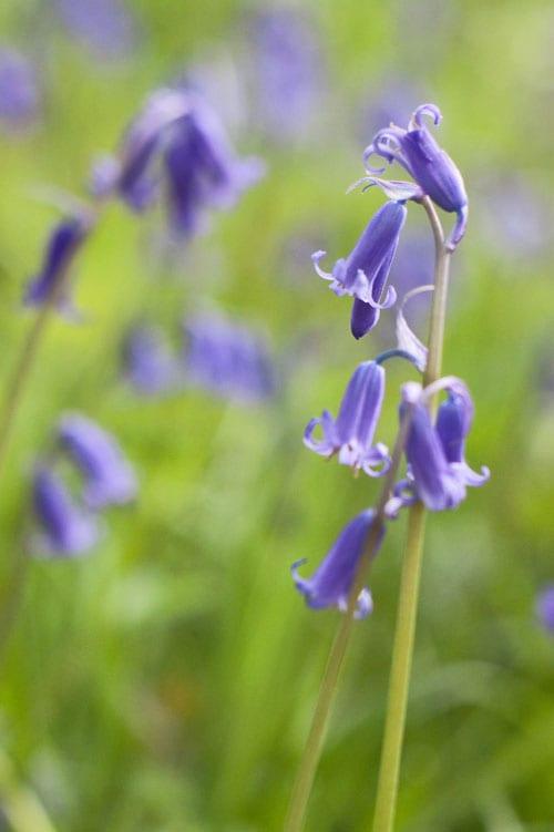 Bluebells-Flowerona