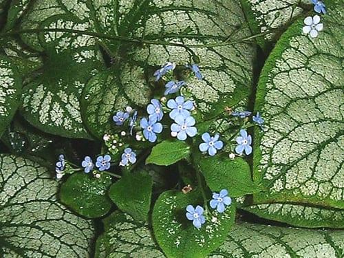 Brunnera-macrophylla-'Jack-Frost'-Auntie-Planty
