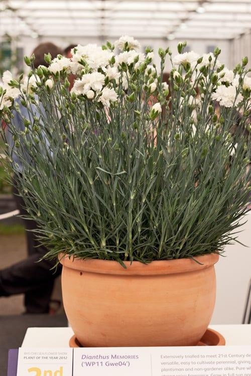 Dianthus-Memories-RHS-Chelsea-Flower-Show-Flowerona