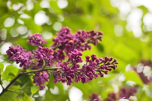 Lilac-Flowerona