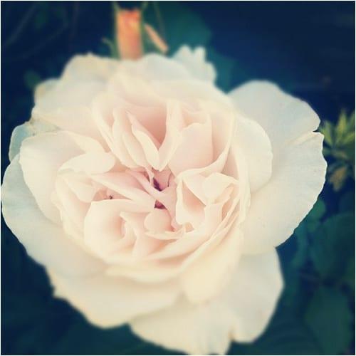 Margaret Merril Rose Flowerona