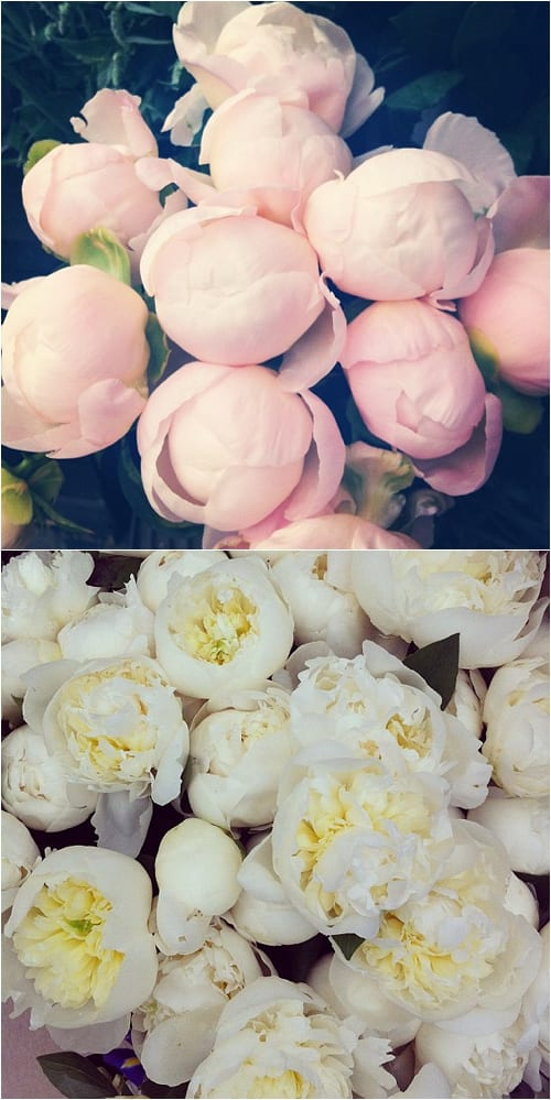 Pink and White Peonies Flowerona