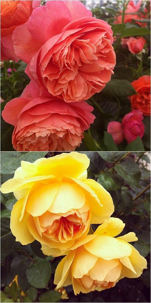 Roses Flowerona