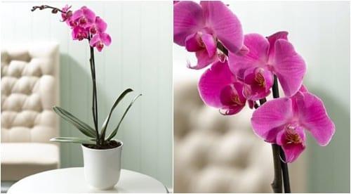 Marks & Spencer Phalaenopsis Orchids