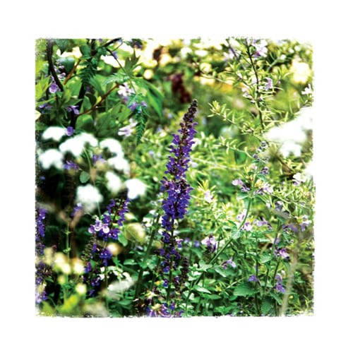 CHL10 Salvia Chelsea Garden Collection Dipingo Design
