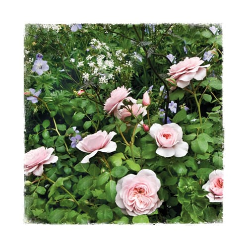 CHL12 Floribunda Chelsea Garden Collection Dipingo Design