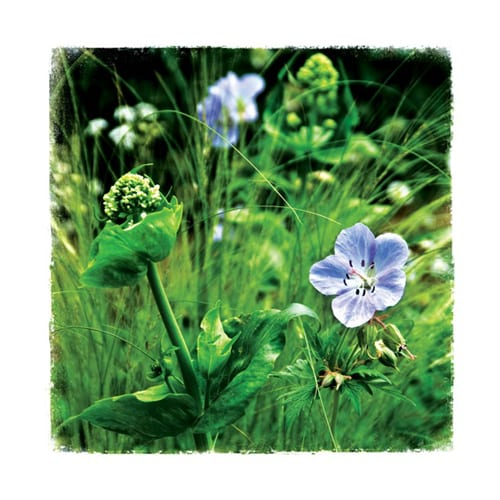 CHL2 Geranium Chelsea Garden Collection Dipingo Design
