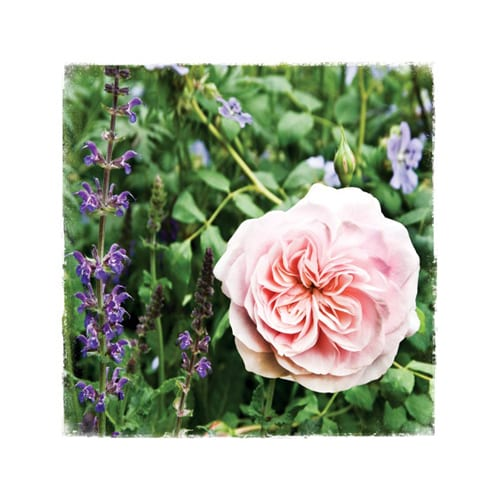 CHL3 Rosa 'Our Beth' Chelsea Garden Collection Dipingo Design