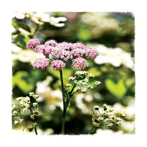 CHL7 Pimpinella Rosea Chelsea Garden Collection Dipingo Design