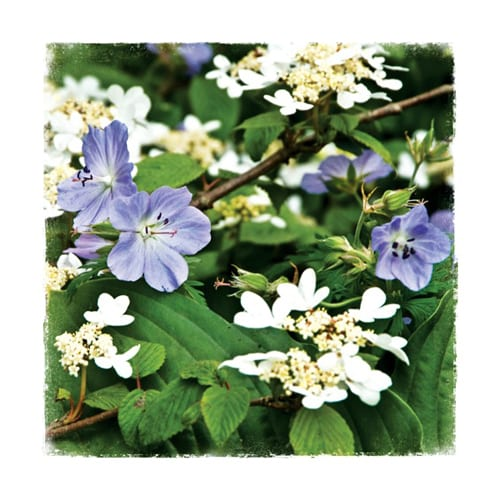 CHL9 Viburnum Chelsea Garden Collection Dipingo Design