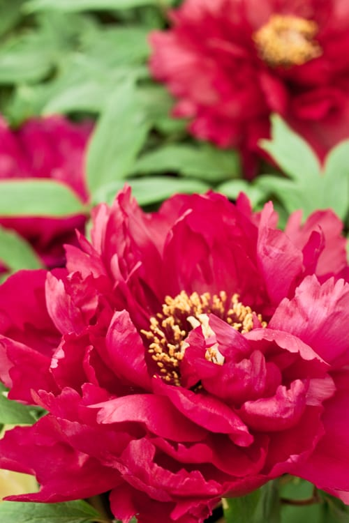 RHS-Chelsea-Flower-Show-2012-Flowerona-Peonies