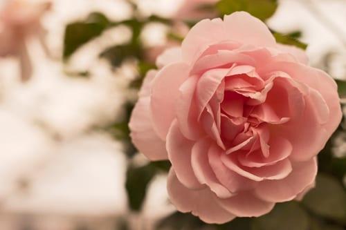 RHS-Chelsea-Flower-Show-2012-Flowerona-Rose