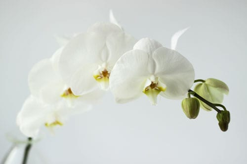 Six top tips on how to care for your phalaenopsis orchids