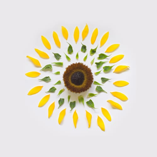 sunflower-exploded-flowers-fong-qi-wei