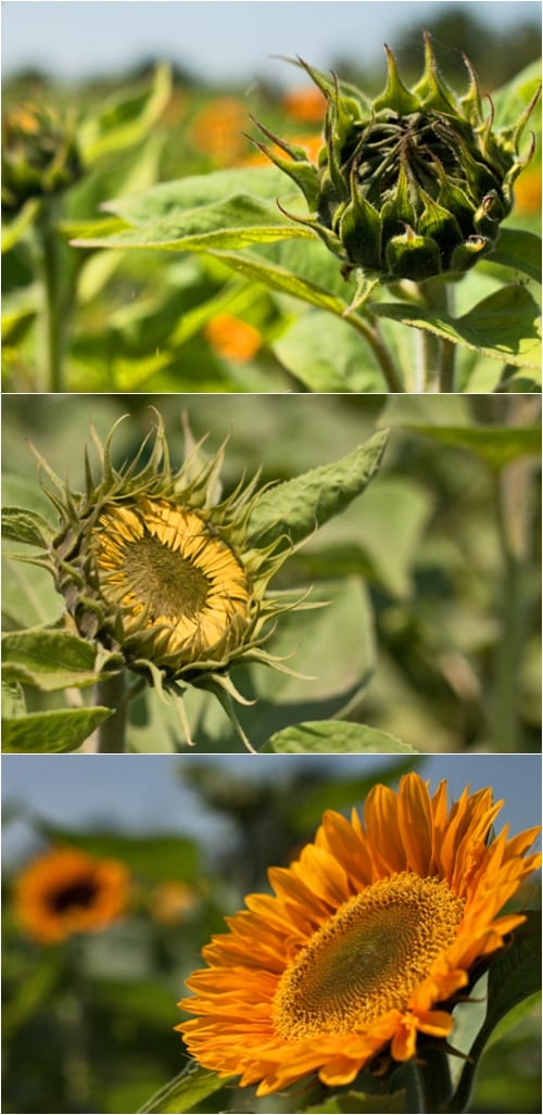 Sunflowers – such cheerful & uplifting flowers