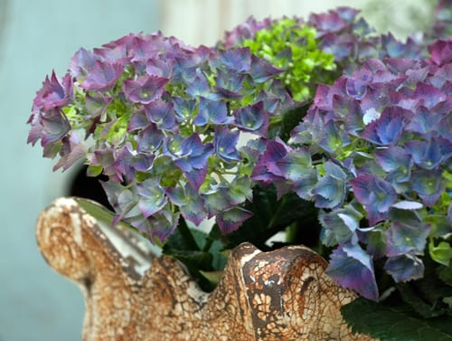 Gorgeous-hydrangea-at-Petersham-Nurseries