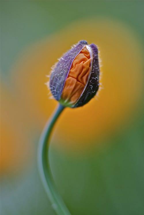 Lotte-Andersen-Pedersen-Popping-Poppy-IGPOTY-Macro-Art-2012-Commended