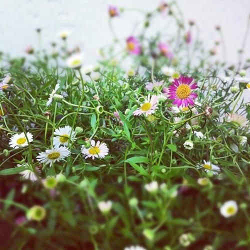 Mexican-Daisies-Flowerona