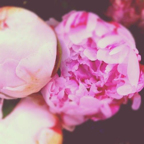 Peonies-Flowerona