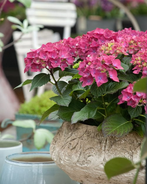 Planter-with-hydrangea---Petersham-Nursery