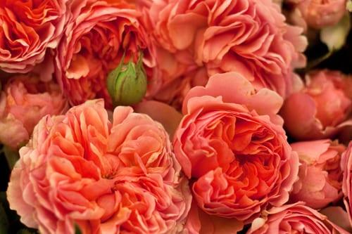 RHS-Hampton-Court-Flower-Show-2012-Romance-&-Roses-Marquee-Flowerona