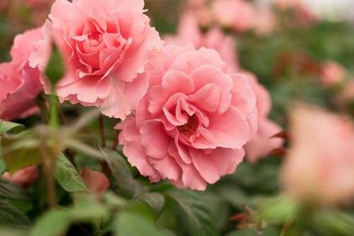RHS-Hampton-Court-Flower-Show-2012-Romance-&-Roses-Marquee-You're-Beautiful-Flowerona