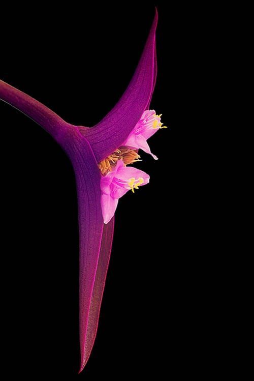 Zoran-Buletic-Flower-IGPOTY-Macro-Art-2012-Finalist