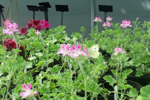butterfly-pelargonium-Sarah-Raven